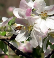 apple blossom with honeybee