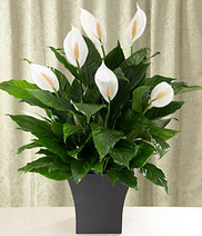 peace lily plant for funeral